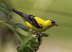 American Goldfinch, male (AllHarts) Tags: maleamericangoldfinch shelbyfarmspark memphistn naturesspirit thesunshinegroup naturescarousel ngc npc
