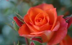 Romance (shelley.sparrow) Tags: romance rose rosa beauty dreamyflower love floweroflove nature garden bokeh petals rosebud nikon winterbloom shelleysparrow brisbane queensland australia colourful bright tranquil serene dreamy