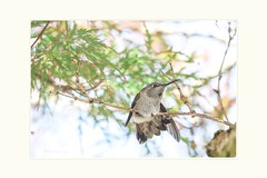 Yoga in the tree (Krasne oci) Tags: hummingbird hummer bird tinybird smallbirds tree nature wildbird garden artphoto photographicart sky evabartos canon canon5dmarkiii japanesemapletree yogainthetree stretching