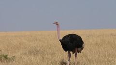 Avestruz (Alicia Julin) Tags: avestruz masai mara kenia africa safari ostrich kenya