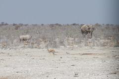 Namibia 2016 (297 of 486) (Joanne Goldby) Tags: africa africanelephant antidorcasmarsupialis august2016 elephant elephants etosha etoshanationalpark explore loxodonta namiblodgesafari namibia safari springbok antelope