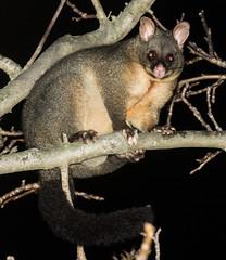20160830_4572_7D2-160 Possum in walnut tree (johnstewartnz) Tags: possum brushtailpossum trichosurusvulpecula canon canonapsc apsc eos 7d2 7dmarkii 70200mm 70200 flash walnuttree 100canon unlimitedphotos
