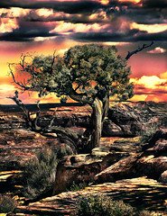 Canyonlands Juniper -- Color (D'ArcyG) Tags: utah southwest western juniper tree gnarly desert mountain sunset rocks