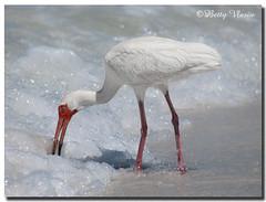 American White Ibis (Betty Vlasiu) Tags: american white ibis eudocimus albus bird nature wildlife florida