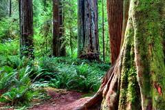 Redwood National Park, California, USA (klauslang99) Tags: trees ferns forest california national park nature naturalworld northamerica klauslang redwood