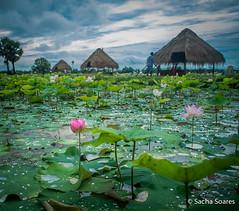 Lotus (sachasplasher) Tags: cambodia asia lotus farm bamboo hut lake sky slouds buddhism