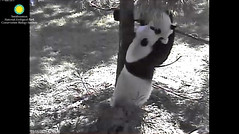 2016_09-06i (gkoo19681) Tags: beibei meixiang playtime treetime sohappy confused climbing dangling stillgotit youngatheart silliness ccncby nationalzoo