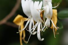 Honeysuckle (AngharadW) Tags: gardenflower pollen honeysuckle