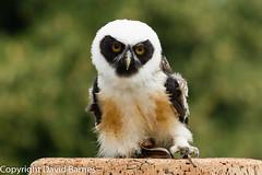 Spectacled owl (captive) (Wild About.......) Tags: 1d4 birds cotswolds fauna icbp internationalcentreforbirdsofprey nature naturephotography pulsatrixperspicillata spectacledowl uk unitedkingdom unitedkingdonm wildlife