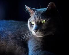 Birdwatcher (The Good Brat) Tags: co us cat feline male blue birdwatcher