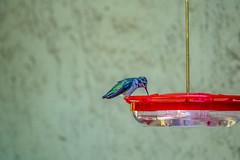 Anna's hummingbird on the feeder (randyherring) Tags: ca california patio wildlife backyard nature bird afternoon outdoor hummingbird annashummingbird birdfeeder sanjose