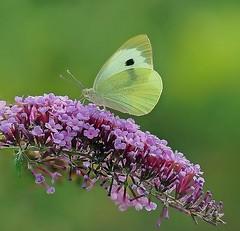 Klein koolwitje - Small white - Pieris rapae (Foto by Yves) Tags: lepidoptera vlinders pieridae witjes pieris 100mm macro garden butterfly bush vlinderstruik specinsect l1758