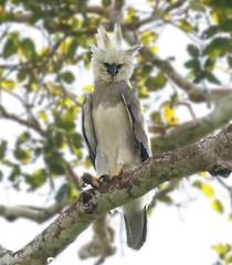 Peru: Harpy Eagle (spiderhunters) Tags: harpyeagle harpiaharpyja peru amazon raptor hawk bird eagle rainforest tambopata neotropics birdofprey