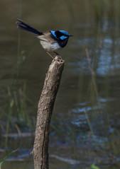 Blue Wren (japhotographics2) Tags: black swamp vic victoria au australia aust australian wren blue robin ne north east wttaboy ja japhotographics japhotgraphics photographics birds