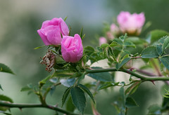 Happy Valentine's Day! Buon San Valentino! Rosa Canina, Pico, Lazio, Italia - in large - (sognatore58) Tags: photosandcalendar flowersarebeautiful floraandfaunaoftheworld natureselegantshots mimamorflowers flickrflorescloseupmacros panoramafotogrfico natureandpeopleinnature flickrsportal rosesforeveryone rememberthatmomentlevel4 rememberthatmomentlevel1 magicmomentsinyourlifelevel1 rememberthatmomentlevel2 rememberthatmomentlevel3