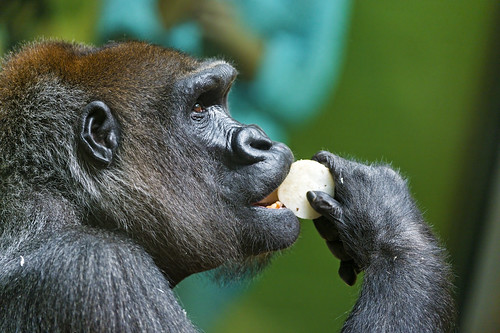 Posh female gorilla eating
