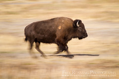 Running Bison (Free Roaming Photography) Tags: usa motion blur west animal fur mammal nationalpark buffalo wildlife running run western northamerica wyoming bison grandteton jacksonhole grandtetonnationalpark elkranch elkranchflats