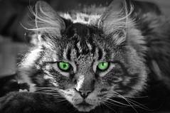 Green Eyed Louie (Luv Duck - Thanks for 15M Views!) Tags: pets animal cat feline greeneyes householdpet lovedpets