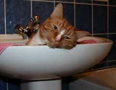 Freddie in Sink (Stuart Axe) Tags: pet cats pets cat bathroom ginger sink tabby kitty charlie freddie polydactyl polydactylcat tomcat gingercat tabbycat gingertom petportraits polydactyly catsinsinks hemingwaycat kissablekat bestofcats gingertomcat catmoments charlieandfreddie friendsofzeusphoebe