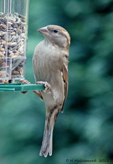 Mus (ditmaliepaard) Tags: sparrow mus inmygarden inmijntuin mygearandme mygearandmepremium mygearandmebronze doorhetkeukenraam
