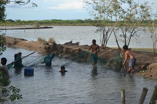 Milkfish harvesting in Iloilo, Philippines. Photo by Marjorie-Ann D. Sumaya, 2011.