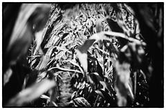 Cornfield BW Framed (BeetleBrained) Tags: autumn blackandwhite bw white black fall monochrome photoshop lens 50mm corn cornfield nikon framed maryland frame nikkor bnw cs5 silverefex d5100