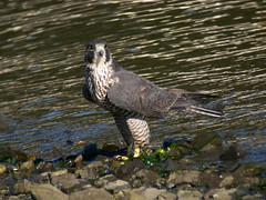 Peregrine Falcon - Adult - Peale's Falcon - 2555 (Len Blumin) Tags: adult bodegabay peregrinefalcon falcoperegrinus falcoperegrinuspealei pealesfalcon