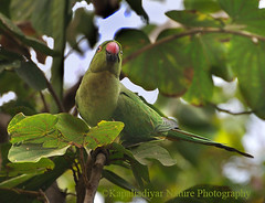 Camouflage (Kapaliadiyar (New Photo Stream)) Tags: nature parrot camouflage nikond90
