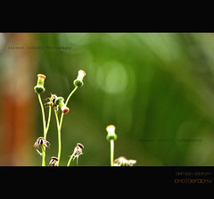 standing alone (Animesh2000) Tags: india flower art nature floral beautiful photography artistic kerala photograph wayanad calicut animesh debnath