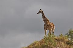 King of the Hill (The Spirit of the World (On&Off)) Tags: africa nature tanzania wildlife ngc safari giraffe eastafrica thegalaxy africananimal specanimal photosandcalendar arushapark natureselegantshots panoramafotogrfico rememberthatmomentlevel4 rememberthatmomentlevel1 magicmomentsinyourlifelevel1 rememberthatmomentlevel2 rememberthatmomentlevel3 bestevercompetitiongroup rememberthatmomentlevel5 rememberthatmomentlevel6 onlythebestofflickr