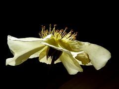 "la dernière rose ""Pimprenelle"" de mon jardin (sabine-43) Tags:"