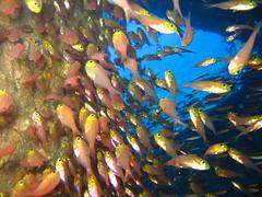 Crystal Fish (energia buran) Tags: sea fish coral barco underwater redsea dive egypt deep diving egipto wreck reef buceo thistlegorm arrecife submarinismo pecio marrojo rasmohammed photosub abunahas sharkyolanda tiranstraight