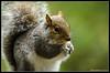 Grey Squirrel (Sciurus Carolinensis) (Danny Sollis) Tags: nature animal mammal cornwall britain wildlife deerpark greysquirrel sciuruscarolinensis flickraward herodsfoot 55300mm flickraward5 flickrawardgallery nikond5100