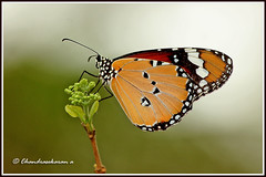 2634 - plain tiger (chandrasekaran a 560k + views .Thanks to visits) Tags: india nature butterfly ngc insects chennai plaintiger canon60d blinkagain bestofblinkwinners allofnatureswildlifelevel1