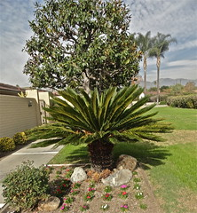 Sago palm (Lynn Kelley Author) Tags: flowers grass landscaping palmtrees wana magnoliatree sagopalm lynnkelley curseofthedoubledigits bbhmcchiller monstermoonmysteries lynnkelleychildrensauthor