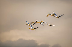 Into The Sunset (Garebear400) Tags: swans tundra cygnuscolumbianus ridgefieldnwr