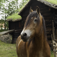 Who's a pretty girl? (jane.garratt) Tags: summer horse animal june oslo norway europe nordic openairmuseum 2012 norskfolkemuseum canonef24105mmf4l bygdypeninsula canoneos5dmarkii 112in2012