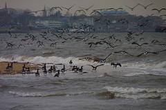 Brant (Dendroica cerulea) Tags: autumn bird beach newjersey nj aves goose brant anatidae anseriformes southamboy brantabernicla raritanbay middlesexcounty anserinae morganavenuemudflats