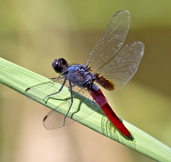 Mexican Scarlet-tail (Planiplax sanguiniventris) (kaeagles) Tags: texas dragonfly bugs lrgv odonata bentsenriograndevalley benstenriograndevalley
