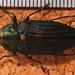 Jewel Beetle (Megactenodes unicolor)
