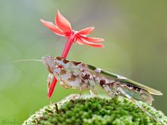 Chic du mau o -EX (thienbs) Tags: macro mantis insect thienbs