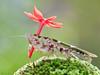 Chiếc dù màu đỏ -EX (thienbs) Tags: macro mantis insect thienbs