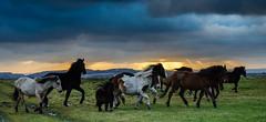 Movement ~ Explored (intrazome) Tags: sunset horses nature nikon d5100
