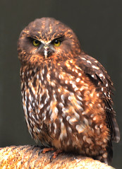 Whisper (andrewrosspoetry) Tags: bird owl morepork ruru platinumheartaward
