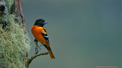 Baltimore Oriole (Raymond J Barlow) Tags: bird art nature costarica adventure workshop avian 200400vr nikond300 raymondbarlowtours