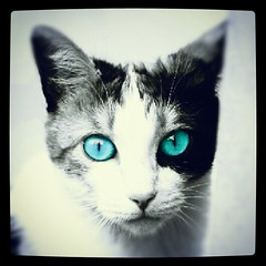 cat (Federico Guarducci Photo's) Tags: blue blackandwhite white black color mobile cat photo eyes foto phone with artistic blu blueeyes small cell occhi e thumbnails piccole colori gatto bianco nero biancoenero cellulari occhiblu artistici artisticcolors fotopiccole flickrandroidapp:filter=none artisticicolori