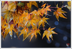 20121126_6773_ (Redhat/) Tags: autumn fall japan temple maple kyoto redhat           eikando