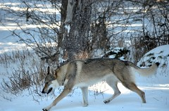 DSC_019674 (loudodi) Tags: wild dog chien nature nikon wolf rivire loup neige regard sauvage wolfdog canelupocecoslovacco hibryde nikond5100 chienlouptchcoslovaque