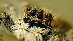 Ojos oscuros (iohandesign) Tags: portrait patagonia spider eyes araña jumpingspider izaguirre salticidae aracnidos raynoxdrc250 arañasaltadora arañasaltarina fujis200exr iohandesign sebastianizaguirre