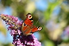 Dagpauwoog (Josette Veltman) Tags: summer macro canon butterfly insect butterflies zomer vlinders vlinder canon100mmmacro macrophotography sering kleur vliegen vlinderstruik 100mm28 vlindertuin 100mm28lisusm